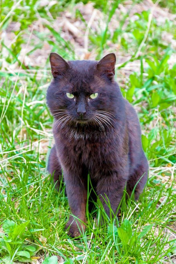 Stäng sig upp av en svart katt på gräset i bakgården royaltyfria bilder