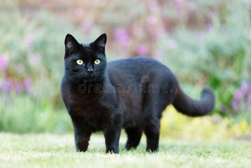 Stäng sig upp av en svart katt på gräset i trädgården arkivbild