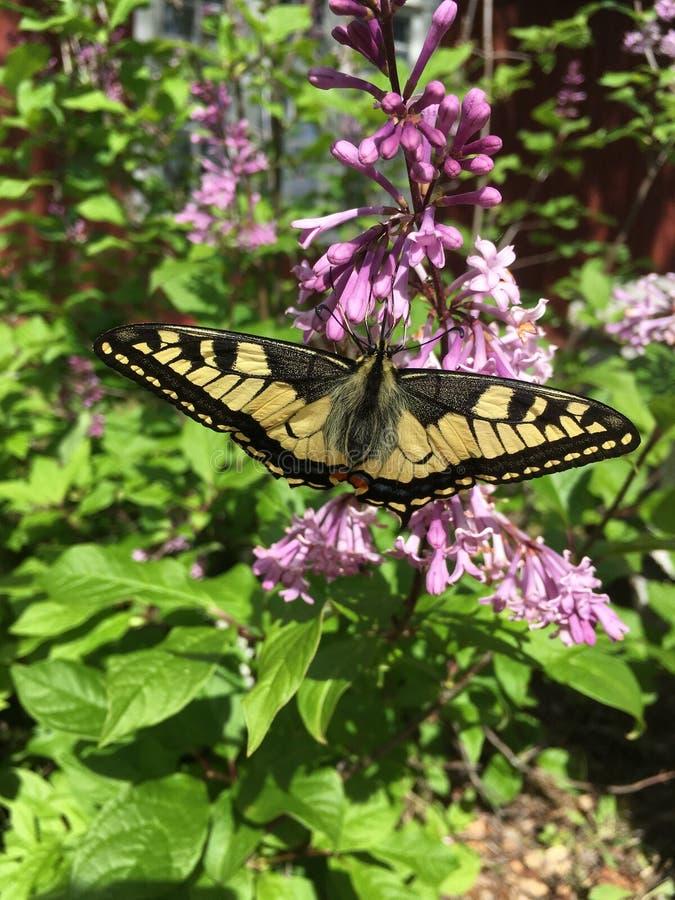 Stäng sig upp av en Swallowtail fjärilsPapilio machaon på en buske royaltyfria bilder
