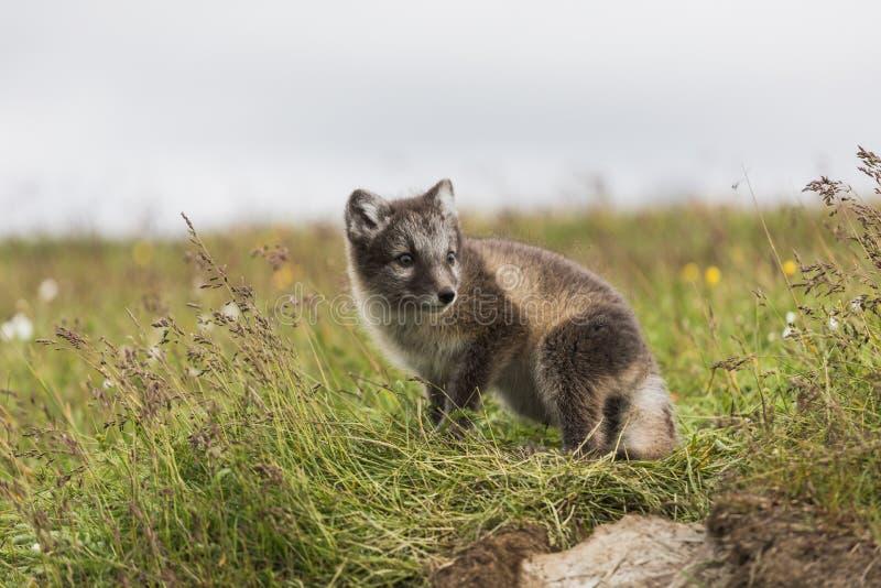 Stäng sig upp av en ung skämtsam gröngöling för arktisk räv på Island arkivbilder