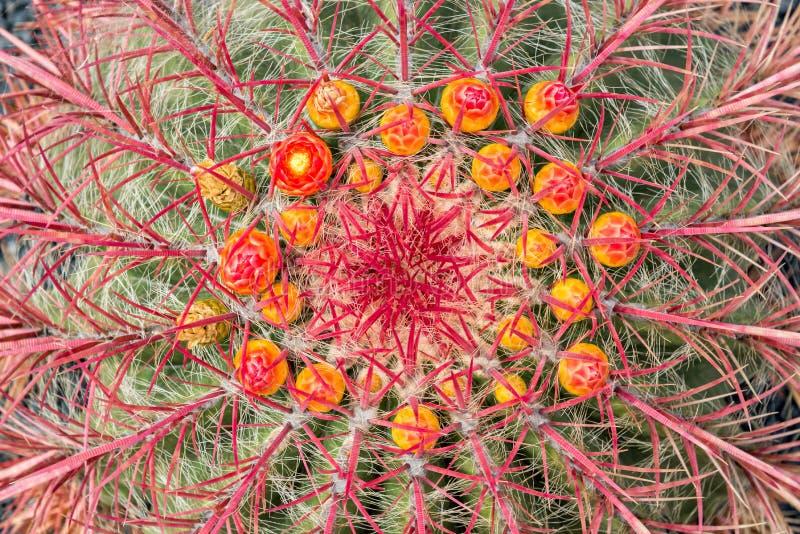 Stäng sig upp av en wislizeni för Ferocactus för Arizona trummakaktus med blommor royaltyfria bilder