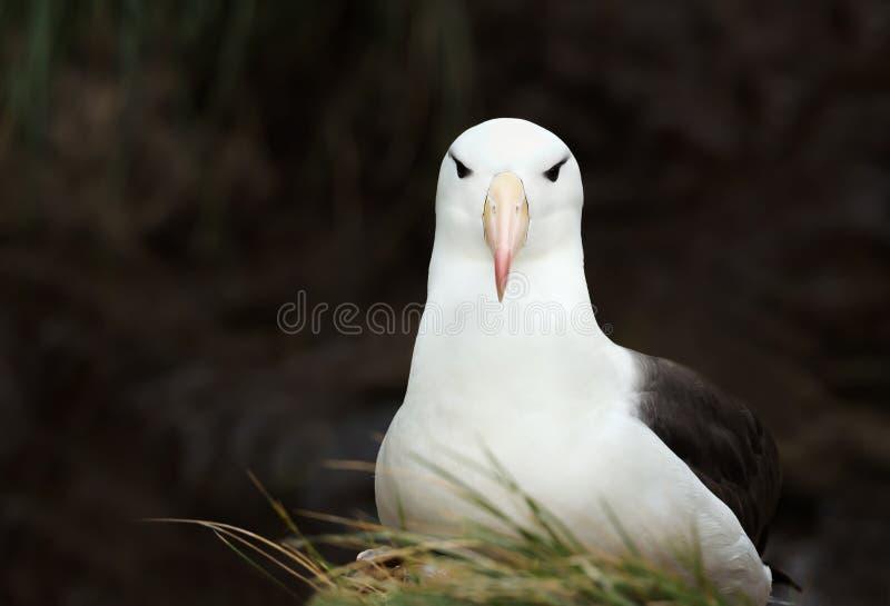 Stäng sig upp av enbrowed albatross mot svart bakgrund arkivbilder