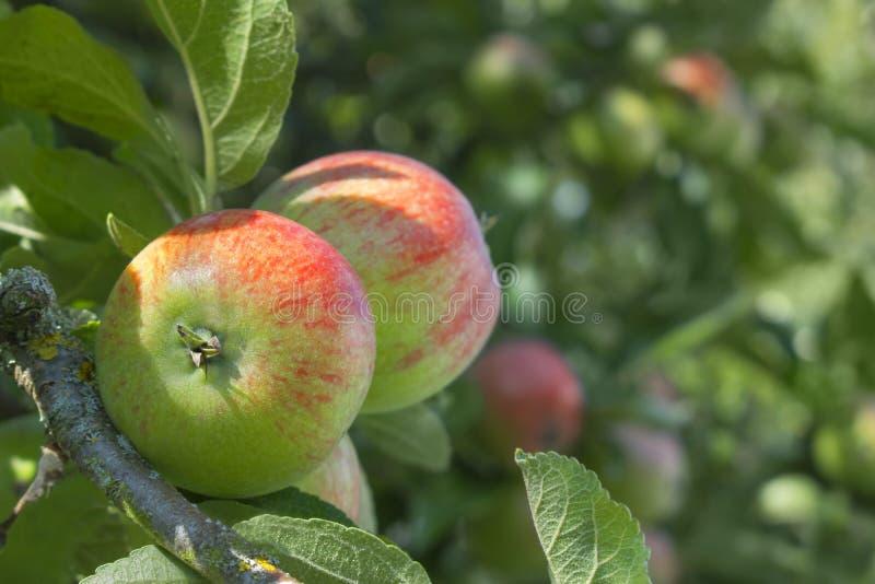 Stäng sig upp av ett äpple på ett träd med en suddig bakgrund för snut royaltyfria foton