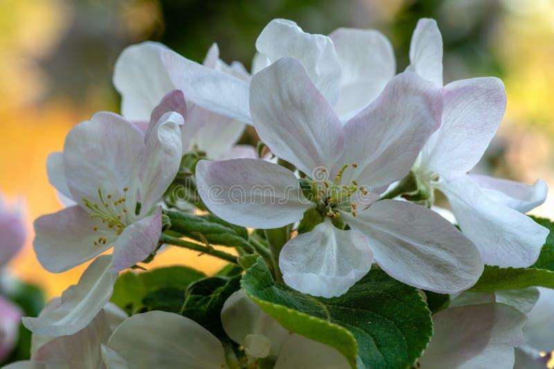 Stäng sig upp av ett blommande äppleträd med stort vitt och rosa flöde arkivfoton