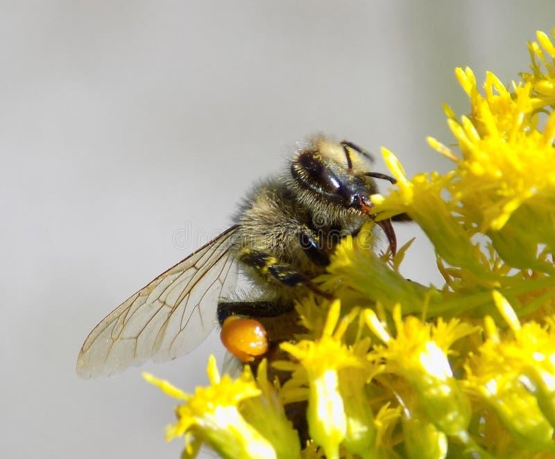 Stäng sig upp av ett honungbi med pollenkorgen fotografering för bildbyråer