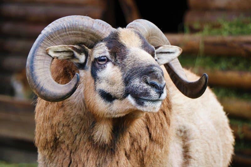Stäng sig upp av ett muflonhuvud med hans horn arkivfoto