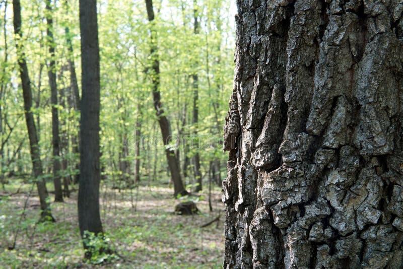 Stäng sig upp av ett trädskäll i vårskog royaltyfria bilder