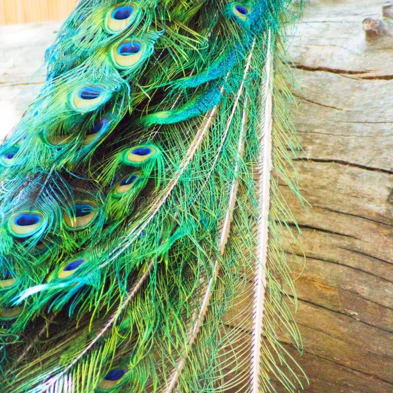 Stäng sig upp av exotiska och färgrika manliga påfågelfjädrar över en riden ut wood journal arkivfoton