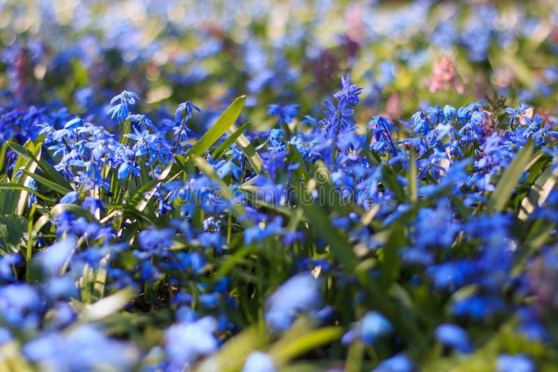 Stäng sig upp av fältet av blåa snödroppar på våren royaltyfri bild