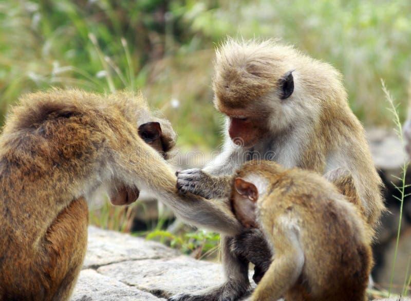 Stäng sig upp av familjen för sinicaen för macacaen för toquemacaqueapan i Sri Lanka som att bry sig och avlusar deras kroppar royaltyfri bild