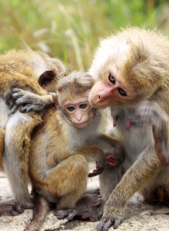 Stäng sig upp av familjen för sinicaen för macacaen för toquemacaqueapan - modern och fadern som smeker deras barn, Sri Lanka royaltyfria bilder