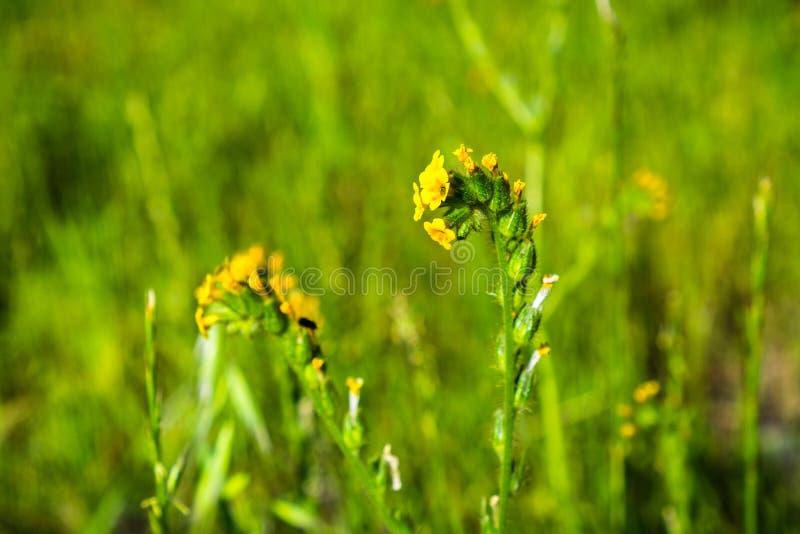 Stäng sig upp av Fiddleneck (Amsinckiatesselata) vildblommor som blommar på en äng, grön bakgrund; södra San Francisco Bay område arkivbild