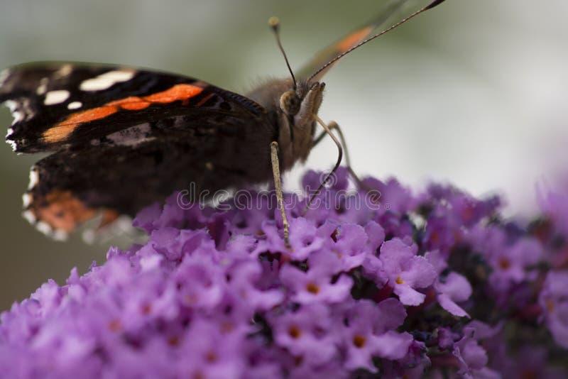 Stäng sig upp av fjärilen för den röda amiralen som matar på en Buddleiaväxt fotografering för bildbyråer