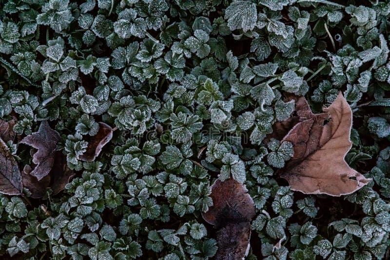Stäng sig upp av frostiga växter av släktet Trifolium med några bruna sidor som dem emellan stoppas arkivbilder