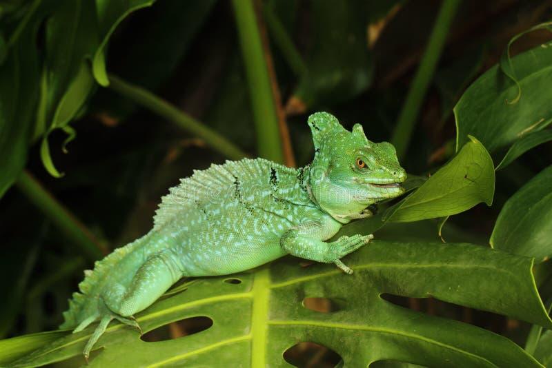Stäng sig upp av grön Basilisködla fotografering för bildbyråer
