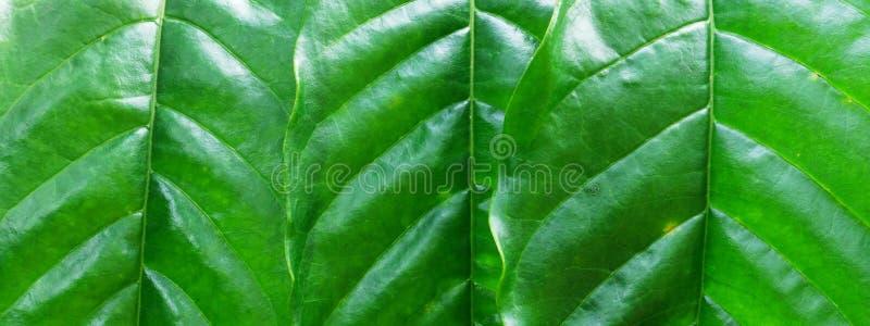 Stäng sig upp av gröna kaffesidor royaltyfria foton