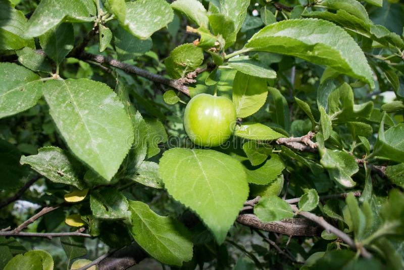 Stäng sig upp av gröna plommoner i en korg som isoleras på, populära vårfrukter med en mycket skarp sur smak, påbörjade royaltyfria bilder