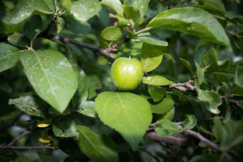 Stäng sig upp av gröna plommoner i en korg som isoleras på, populära vårfrukter med en mycket skarp sur smak, påbörjade fotografering för bildbyråer