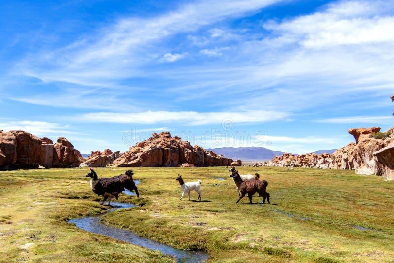 Stäng sig upp av gulliga och roliga Alpacas, Anderna av Bolivia, Sydamerika fotografering för bildbyråer