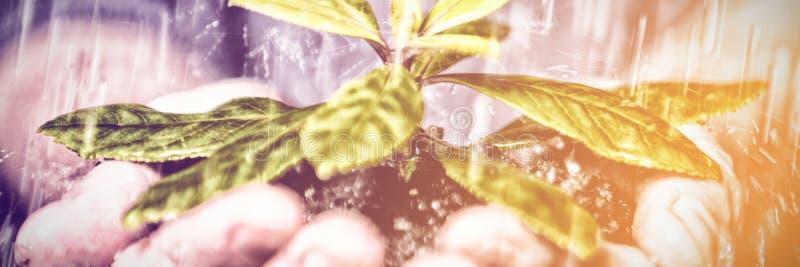 Stäng sig upp av händer som rymmer plantan i regnet arkivfoton