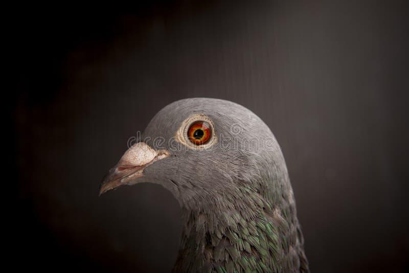 Stäng sig upp av härliga ögon av fågeln för den tävlings- duvan för hastighet på mörker b royaltyfri foto