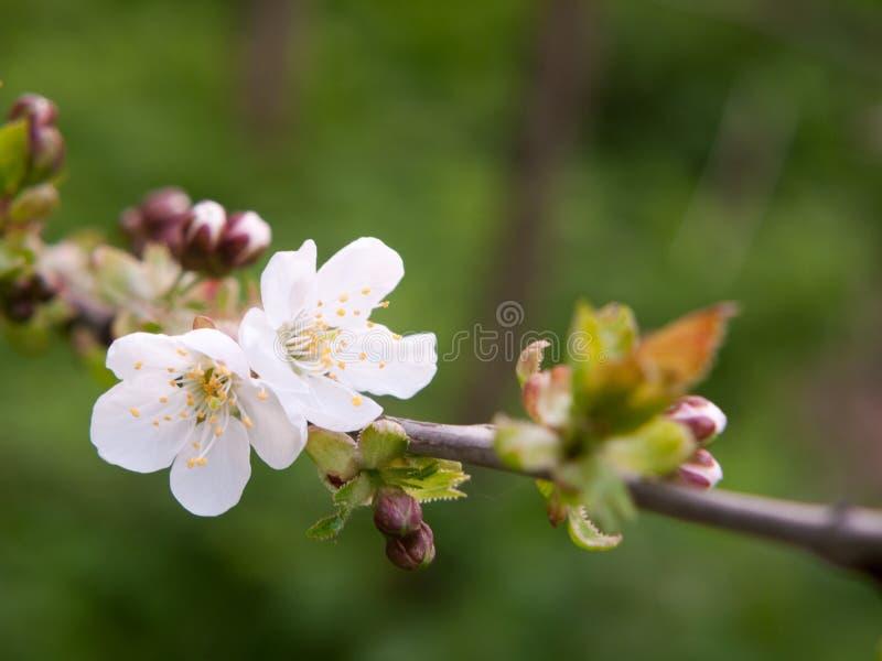 stäng sig upp av härliga vita blommande blommahuvud på körsbärsrött träd arkivfoton
