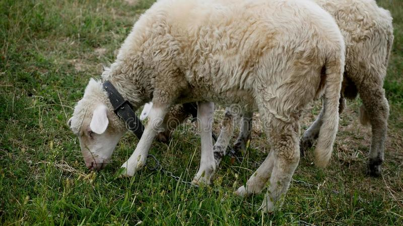 Stäng sig upp av head tugga för lamm, får på ängen, fältet som brukar arkivfoto