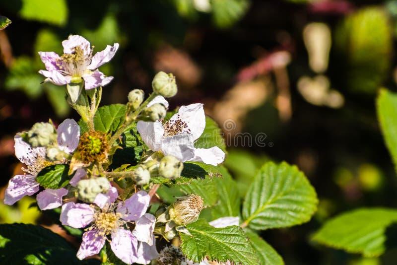 Stäng sig upp av Himalayan blommor för björnbäret som (Rubusarmeniacus) blommar i södra San Francisco Bay område, Kalifornien var arkivfoton