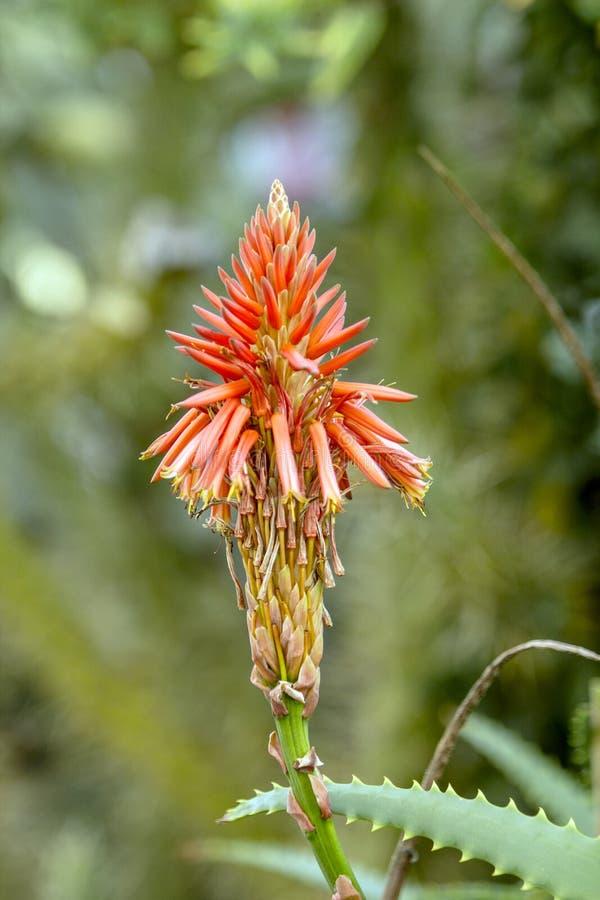 Stäng sig upp av huvudet för den aloeVera blomman med tubformiga kronblad med stark bokeh fotografering för bildbyråer