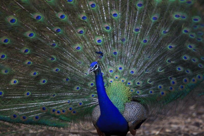 Stäng sig upp av indisk påfågel med härliga svansfjädrar arkivbild