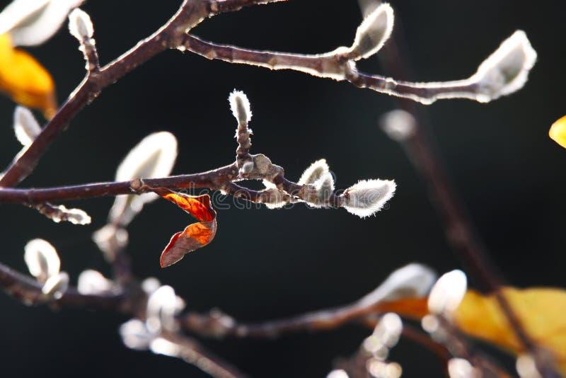 Stäng sig upp av isolerade gula lysande tjänstledigheter med fluffiga vita hängear på kala filialer av magnoliaträdet i höstsol arkivbild
