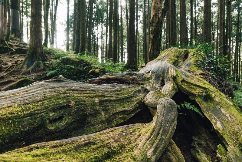St?ng sig upp av j?tte rotar av l?nge levande s?rjer tr?d med mossa i skogen i den Alishan medborgaren Forest Recreation Area i C royaltyfri foto