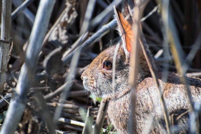 Stäng sig upp av kanin som fortfarande sitter i buskarna royaltyfri foto