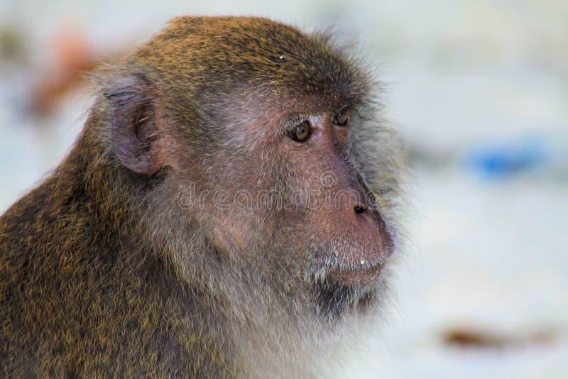 Stäng sig upp av krabban för raseriapaframsidan som äter den långa tailed macaquen, Macacafascicularis på stranden, Ko Lipe, Thai royaltyfria bilder