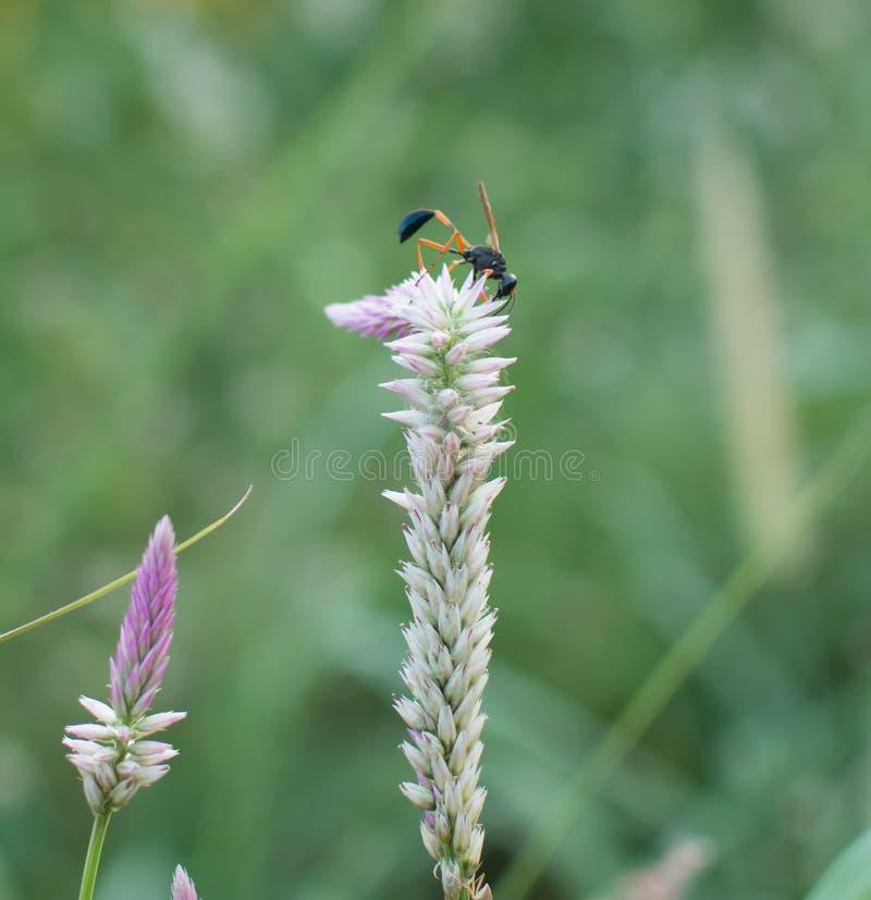 Stäng sig upp av krypet som samlar nektar på en blomma royaltyfri fotografi