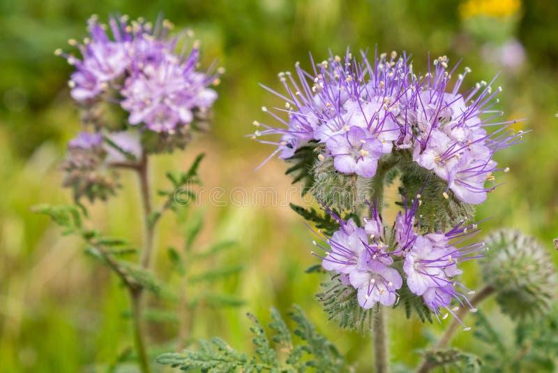 Stäng sig upp av lösa blommor för den Lacy Phacelia Phacelia cryptanthaen, Kalifornien royaltyfria bilder