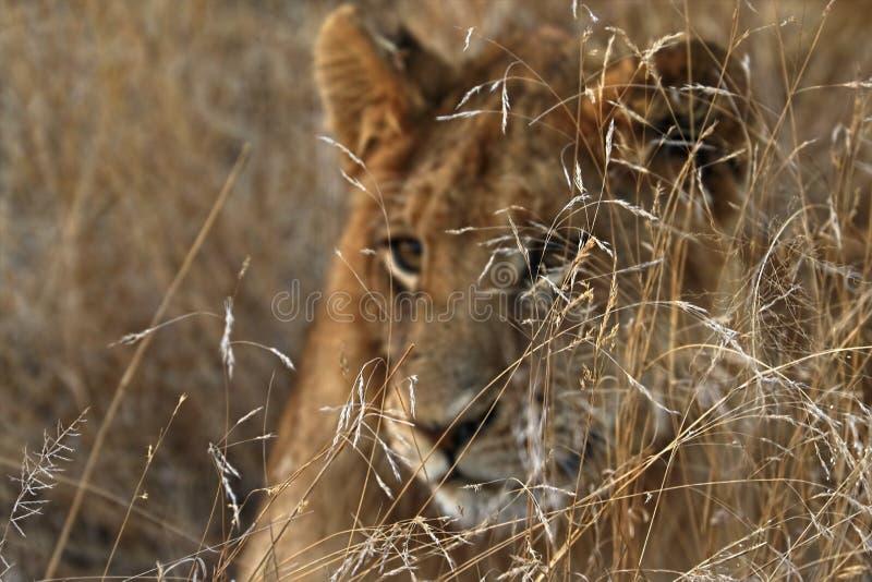 Stäng sig upp av lejonet i den Kruger nationalparken, Sydafrika royaltyfri foto