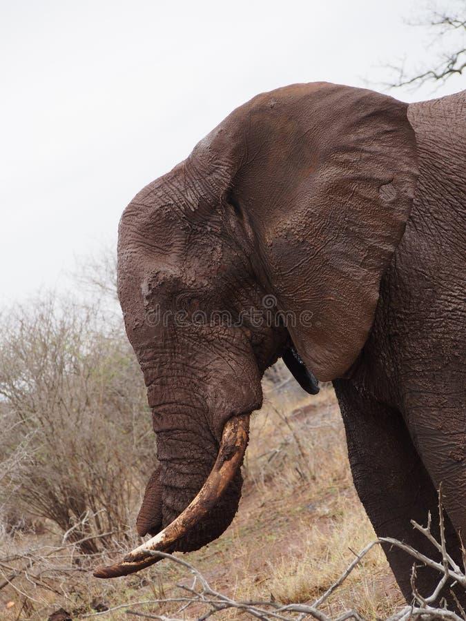 Stäng sig upp av lerig elefant i Afrika royaltyfri fotografi