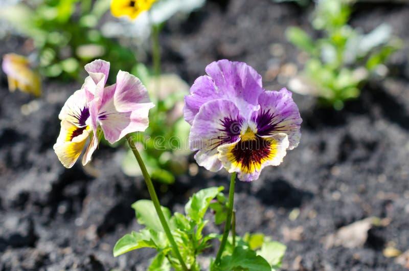 Stäng sig upp av lila pansies som växer i trädgården royaltyfria foton