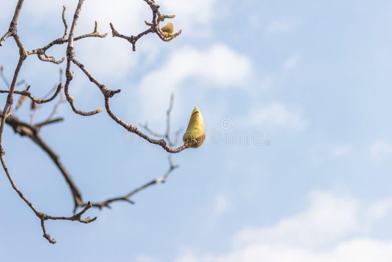 Stäng sig upp av magnoliaknoppar royaltyfri bild