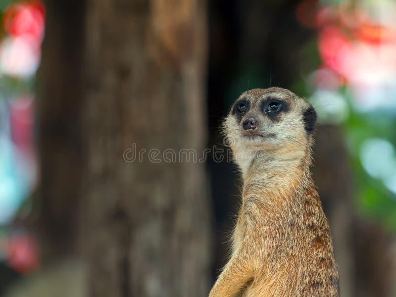 Stäng sig upp av Meerkat som staning på vaktarbetsuppgift; Suricatasuricattaen är en liten carnivoran royaltyfri fotografi