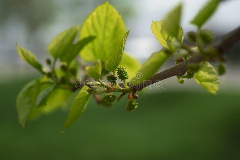 Stäng sig upp av mullbärsträd som växer på mullbärsträdträdfilial arkivbild