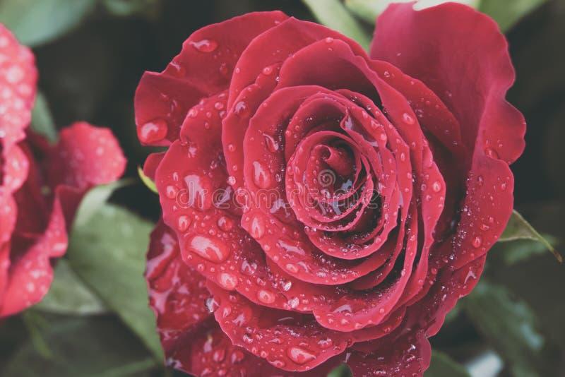 Stäng sig upp av oavkortad blom för den härliga röda rosen som täckas i vattensmå droppar från morgondagg Förälskelse- och romant arkivfoton