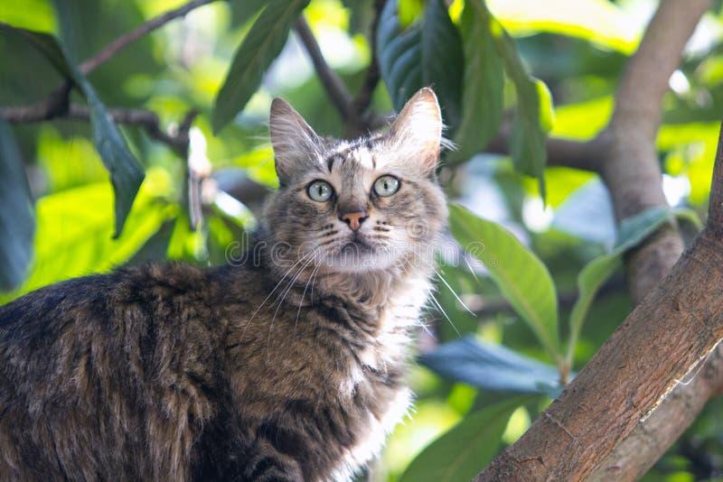 Stäng sig upp av olycklig tillfällig strimmig kattkatt på locquatträd arkivfoton