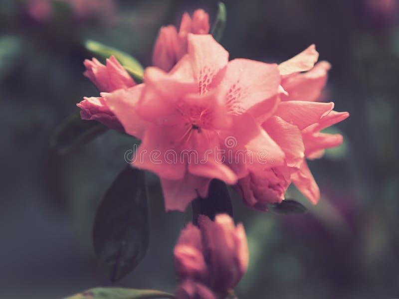 Stäng sig upp av peachy rosa blommor royaltyfri bild