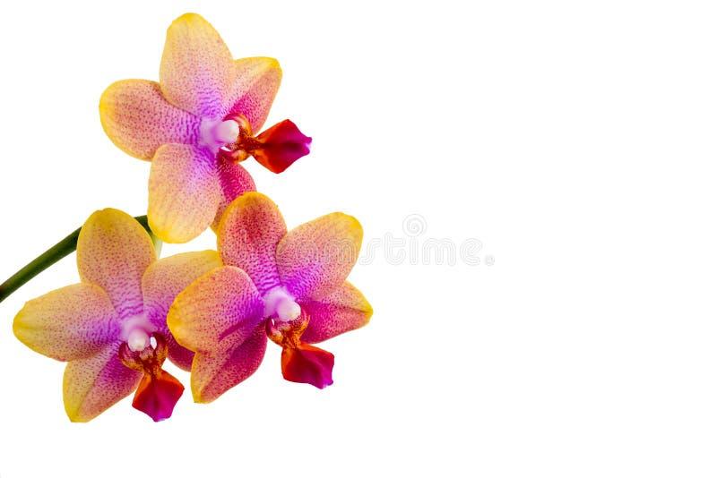 Stäng sig upp av Phalaenopsisorkidén som isoleras på vit bakgrund fotografering för bildbyråer