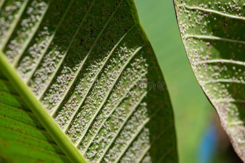 Stäng sig upp av Pseudococcidae på det gröna bladet fotografering för bildbyråer