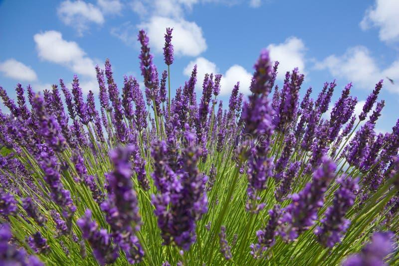 Stäng sig upp av purpurfärgad lavendel framme av pittoresk himmel. Sommer royaltyfria bilder