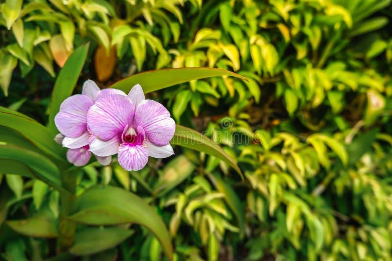 Stäng sig upp av purpurfärgad orchidsdendrobium med oskarp bakgrund royaltyfria bilder