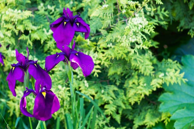 Stäng sig upp av purpurfärgade irisblommor på naturlig grön bakgrund med kopieringsutrymme royaltyfria bilder
